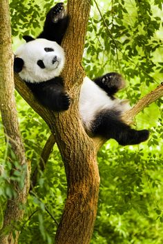 Pandas are an unusual animal because, although they belong to the carnivore family of animals, of the food they eat is just bamboo. In the wild they may sometimes also eat meat like birds, small rodents, and dead animals they find (known as carrion). Cute Baby Animals, Animals And Pets, Wild Animals, Beautiful Creatures, Animals Beautiful, Photo Panda, Cute Bear, Tier Fotos, Pet Birds