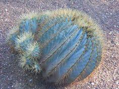 Ferocactus glaucescens o cactus de barril. CACTUS DE BARRIL O CACTUS BRÚJULA, siempre se inclinan mas o menos hacia al sur tratando de conseguí sol, esto indican una dirección. Por esto lo LLAMAN CACTUS BRÚJULA.