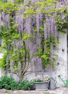 wisteria - either on East elevation (where I took windows out of the den to save money and have an art wall) or on back porch. Thinking east as back porch has to come from a pot, not ground.