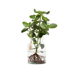 Unsere Clusia Water Plants sind Pflanzen, die Sie dauerhaft in einer Wasser-Kultur bei Ihnen zu Hause halten können. Gezüchtet werden diese Water Plants in
