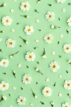 green wallpaper Primrose background on green by Ruth Black for Stocksy United Flower Background Wallpaper, Flower Phone Wallpaper, Green Wallpaper, Animal Wallpaper, Flower Backgrounds, Colorful Wallpaper, Wallpaper Backgrounds, Wallpaper Quotes, Spring Backgrounds