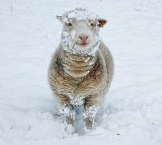 Snowy Sheep Chic by tj.blackwell, via Flickr