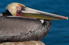 This California brown pelican (Pelecanus occidentalis californicus) is photographed sitting on a rock in front of the ocean. This closeup shows only a portion of the bird, focusing on the beak with its The beak, bill pouch (gular sac), and eye are all sharply in focus, and visible clearly above the folded-up body.  By Mark Perkins @ marcperkins.photoshelter.com