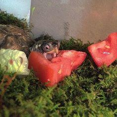 ambo97's photo on Instagram turtle Ernie tortoise cute tomatoes lettuce snack yum