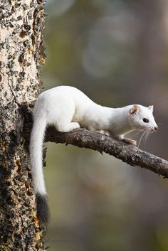 Stoat in its winter coat. This white coat is known as ermine.