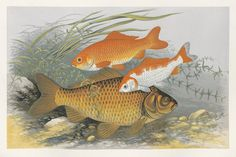 Houghton, W(illiam). British Fresh-Water Fishes. Illustrated with a coloured figure of each species drawn from nature by A. F. Lydon. 1879