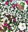 Hänge-Petunie 'AlpeTunia® Weiß'