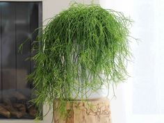 With its long, elegantly drooping stems and low-maintenance care needs, the Mistletoe Cactus (Rhipsalis baccifera) makes an ideal choice for hanging...