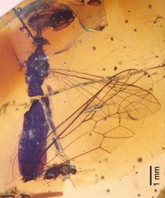 Encuentran en ámbar una mosca de 105 millones de años con polen en el abdomen