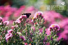 Herbstastern, rosa, wildeschoenheiten.wordpress.com