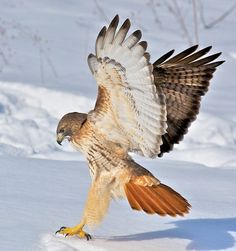 'Red-tailed Hawk' - photo by Jim Ridley;  2011 Audubon Magazine Photography Awards: Top 100