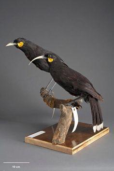 Extinct birds of New Zealand, Part 2 – Songbirds Extinct Birds, Extinct Animals, Most Beautiful Animals, Beautiful Birds, Birds Online, Kiwi Bird, Animal Nail Art, Maori Designs, Nz Art