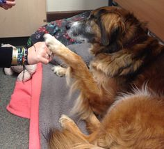 Goldie's #pawbump for @The_Blue_Cross Blue Cross, Georgia, Pets, Twitter, Animals, Animales, Animaux, Animal, Animais