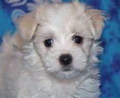 Maltese Dog Puppies .