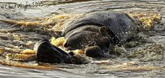 Playful Hippos (watermarks are only being used to protect images) by Chad Wright on www.digitalgallery.co.za