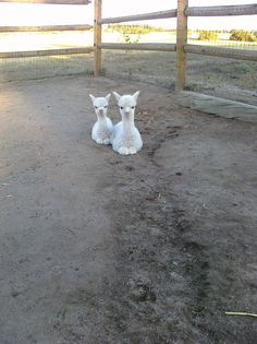 baby alpacas... Oh my stinkin' goodness!!! That is the cutest!!!!