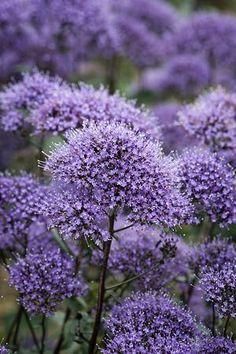 Flor de la viuda (Trachelium) - belleza descuidada
