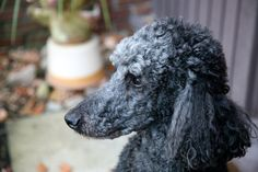 Grooming your poodle at home can save you money and increase the bond between you and your pet. When you take your poodle to a groomer, no matter how reputable, you really do not know how your pet is treated. Dog Ear Cleaner Homemade, Homemade Dog, Toy Poodle Puppies, Cute Puppies, Toy Poodles, Corgi Puppies, Schnauzer, Dog Ear Cleaning Solution, Cleaning Dogs Ears