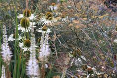 White and whimsical planting. Echinacea 'White Swan', Bronze Fennel and Veronicastrum virginicum 'alba'. Will flower prolifically in mid/late summer and still look great over winter