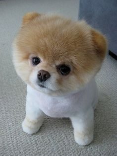 my dad thinks cute little boo is a bear ! he is just a cute dog with a silly hair-cut!!!!!!!!!!!!!!!!