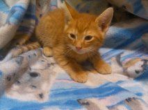 Morris is an adoptable Domestic Short Hair-Orange Cat in Omaha, NE. Morris loves to play and be with you he is 13 weeks old and needs a furever home for a meet and greet please e-mail anthonyandjoni@m...