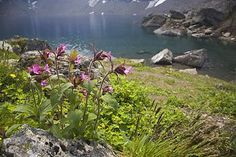 Silene dioica, Kärkevagge, Swedish Lappland | | Lapland's Image Bank, pictures on mountains, forests, Lapland's national parks, Sarek, Lapon...