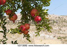 ρόδι, δέντρο Δείτε Εικόνα Μεγάλου Μεγέθους