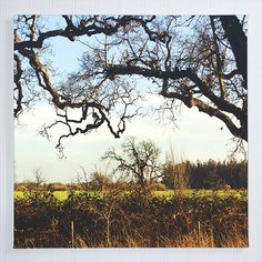 "oak tree canvas gallery wrap / California nature rural country art print / green blue large canvas wall art / ""canyon live oak landscape"""