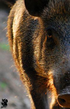 Shining boar by Allerlei on DeviantArt