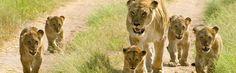 Lioness & Cubs, Kenya
