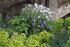 Geranium maderense 'Guernsey White' and Euphorbias