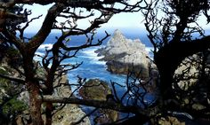 Gnarled branches and the granite rocks of Point Lobos frame turquoise waters at the edge of fog-bound Carmel Bay, Calif. (Brian J. Cantwell/The Seattle Times)