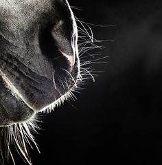 Equine photography by Henrik Sorensen, posted on http://www.lacavalieremasquee.com