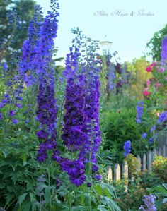 I love these tall and stately Delphiniums in Carolyn's (of Prince Edward Island, Canada) garden in summer