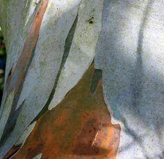 Eucalyptus pau. ssp. niphophila - Snow gum - Tree Shrub - Majestic ...