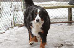 Gårdstunet Hundepensjonat: Noah - en herlig bamse har kommet på besøk til oss...