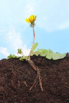 Одуванчик - трава, которая убивает раковые клетки в течение 48 часов!
