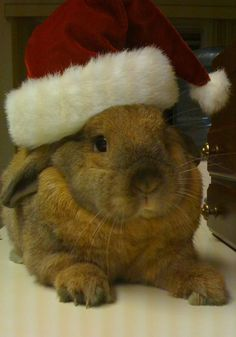 Santa Bunny Takes a Rest After All Those Treats - December 24, 2011