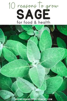 Here are 10 reasons why you should be growing sage in your garden this season for your health and for food! Sage is an awesome herb you should be growing for many reasons! Let's explore some of the many ways growing sage can be beneficial for your garden, your palate, and your health. Gardening For Beginners, Gardening Tips, Garden Guide, Garden Ideas, Starting A Garden, Grow Your Own Food, Medicinal Herbs, Garden Accessories, Veggies