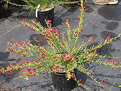 Pictures Of Scotch Broom Bush Plantfiles Picture 7 Of