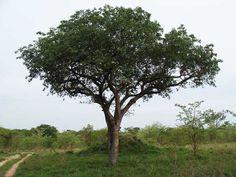The Marula Tree