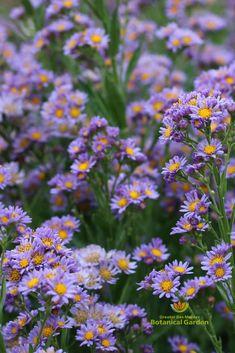 Public Garden, Aster, Botanical Gardens, Garden Plants, Perennials, Outdoor Gardens, Bloom, Gardening, Flowers