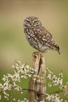 Little Owl by Simon Roy - Athene noctua Owl Photos, Owl Pictures, Funny Pictures, Owl Bird, Pet Birds, Small Birds, Colorful Birds, Beautiful Owl, Animals Beautiful