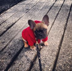 Lil' Theezy in his first Hoody, awwwww. French bulldog Puppy.