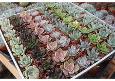 """FREE SHIPPING 25 All ROSETTES Succulent Wedding Favors in 2"""" plastic square containers succulents make great gifts favor flowers - TheWeddin..."""