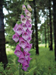 Foxglove 'Rose Shades' --> http://www.hgtvgardens.com/flowers-and-plants/10-foxglove-varieties-to-try?s=5&soc=pinterest