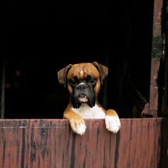 Boxer :) Love