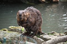 This wet beaver.   18 Beaver Shots You Definitely Shouldn't View At Work