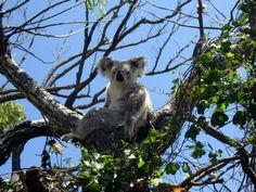 Koala à Magnetic Island