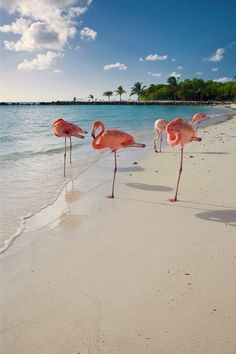 Caribbean Beach with Pink Flamingos! Photograph by George Oze - Caribbean Beach with Pink Flamingos Fine Art Prints and Posters for Sale Beautiful Birds, Beautiful World, Animals Beautiful, Beautiful Creatures, Foto Top, Wale, I Love The Beach, All Nature, Jolie Photo